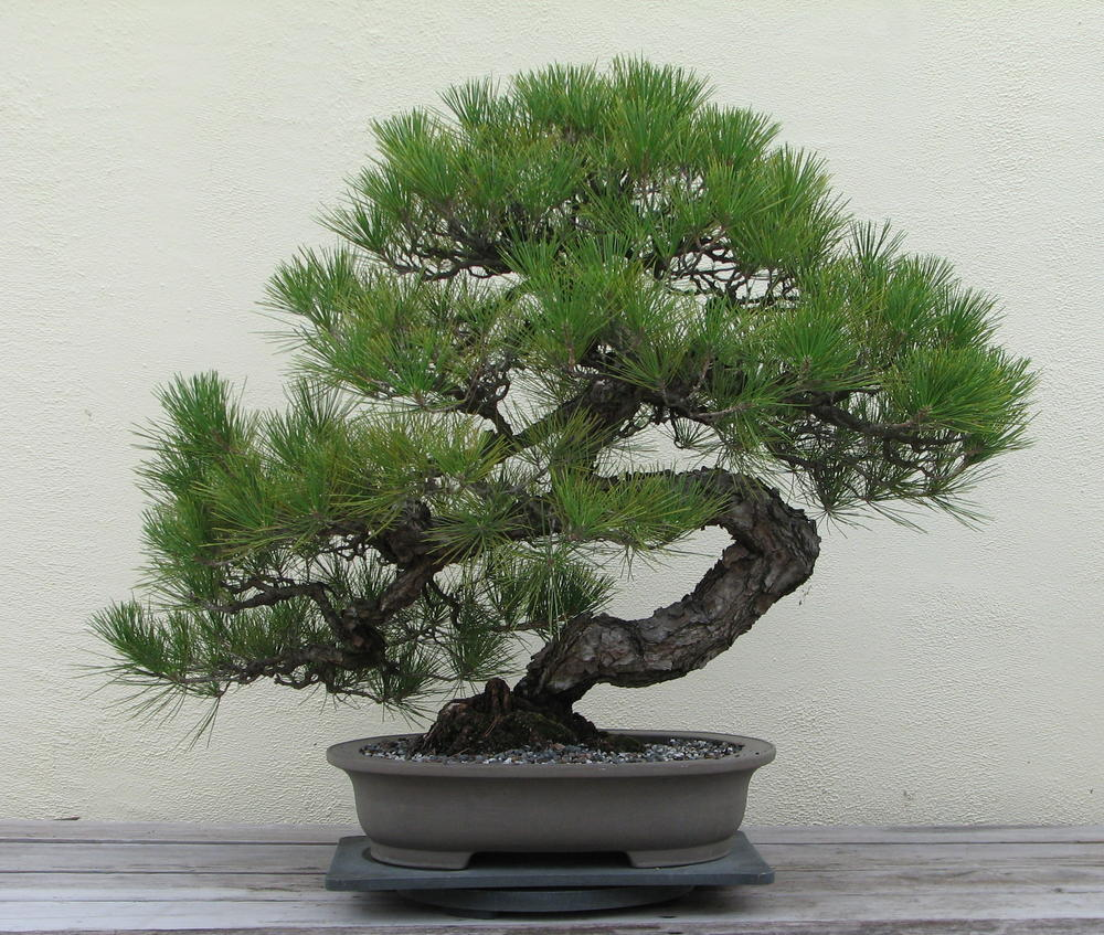 Mr. West s Bonsai Tree